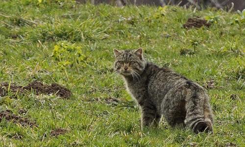 gato-cola
